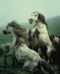 Wild Mustangs Battling as to Who Will be the Next Lead Stallion to the Band of Mares Which awaits the Winner. All The Pretty Horses, Beautiful Horses, Animals Beautiful, Cute Animals, Prey Animals, Zebras, Majestic Horse, Wild Mustangs, Tier Fotos