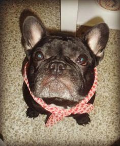 Ola K Ase?.......beautiful Senior French Bulldog
