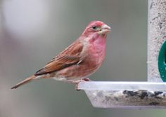 Purple finch (I think I've seen this guy in my yard and mistaken him for a female cardinal. I have to compare the beak. The purple finches' upper beak curves downward).