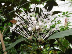 Clerodendrum quadriloculare Muslim Celebrations, Bonsai, Breath In Breath Out, Botany, Botanical Gardens, Fireworks, Orchids, Dandelion, Bloom