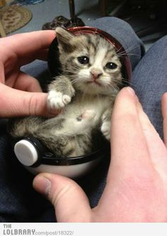 oh NO. This. Kitten in a pokeball? I'm going to die.