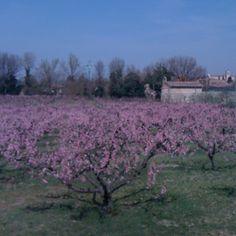 Peach trees in #Todi #Umbria