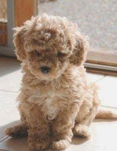 Cute Hypoallergenic Dog Breeds :)