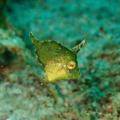 This little guy was maybe as big as my pinky nail.. Accidentally found him looking for a Halimeda ghost pipefish. No pipefish but isn't he the cutest!?  #filefish #seagrass #macro #scuba #scubadiving #diving #socute #solittle #uwphotography #underwaterphotography #puertogalera #Philippines by pandabearvikkie