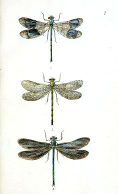 vintage dragonfly prints | Animal – Insect – Dragonfly 1 | Vintage Printable at Swivelchair ...