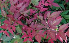 Top 10 Most Colorful Winter Landscape Plants; this is flirt dwarf nandina. other types of nandina's are listed, including blush pink, as well as loropetalums that are purple in color Landscaping Plants, Georgia Flower, Plants, Evergreen Shrubs, Winter Landscape, Shrubs, Garden Types, Winter Garden, Winter Plants