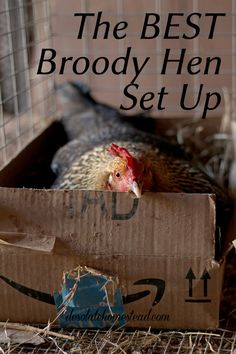 Building A DIY Chicken Coop If you've never had a flock of chickens and are considering it, then you might actually enjoy the process. Raising Backyard Chickens, Keeping Chickens, Backyard Farming, Pet Chickens, Chicken Breeds, Chicken Coops, Laying Hens, Chicken Garden, Broody