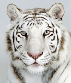 Photography Bucket List- Photograph a real white/snow tiger. No cage. There is no animal more gorgeous than these! LOVE them!