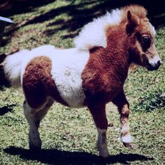 Bingo nuestro próximo reproductor  Our next stallion   #miniaturehorse #ponny  #pinies #horselife #caballos #criaderoeltrebol #caballosminiaturas #caballo #miniscolombia #silvereye # pintohorse