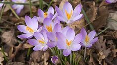 A favorite early spring bulb Crocus tomasinianus - mauves and orangy golds, combined with dark blue greens - colors used in my Moghul cross-pointTM pattern
