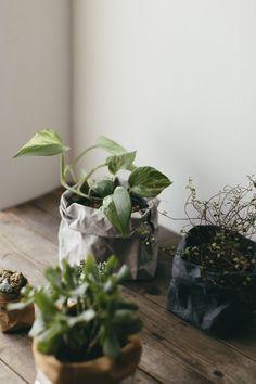 Variegated Pothos House Plant aka 'Devils Ivy'