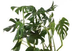 Peikonlehti on suurilehtinen viherkasvi, joka tuo sisustukseen trooppista rehevyyttä. Saat siitä monivuotisen ilon, kun hoidat sitä oikein. Lue hoito-ohjeet Viherpihasta.