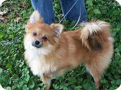 Gilbert, AZ - Pomeranian. Meet Copper, a dog for adoption. http://www.adoptapet.com/pet/11339722-gilbert-arizona-pomeranian