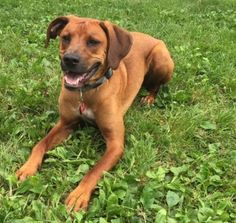Fozzie Foster Needed is an adoptable Retriever searching for a forever family near Minneapolis, MN. Use Petfinder to find adoptable pets in your area.