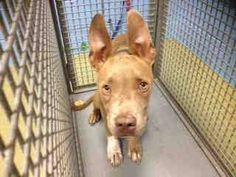 GONE --- #A439580 (Moreno. Valley, CA) Male, tan and white Pit Bull Terrier mix. The shelter thinks I am about 6 months old I have been at the shelter since Aug 25, 2014 and I may be available for adoption on Sep 03, 2014 at 12:05PM ... City of Moreno Valley Animal Control Services. https://www.facebook.com/media/set/?set=a.136024659885662.29277.135559229932205&type=3