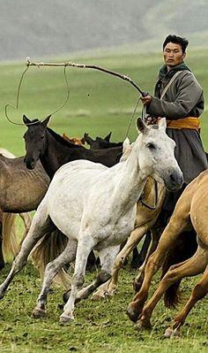 Rounding up horses . Mongolia