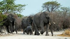 Elephants Just about to head for the gates in Etosha since sun was on its way down - and some 50 elephants come out of the woods crossing the road in front of us.