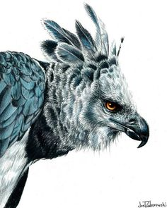 Harpy Eagle - PrismaColor Pencils The Great Jungle Eagle Nature Animals, Animals And Pets, Cute Animals, Animal Sketches, Animal Drawings, Aigle Harpie, Beautiful Birds, Animals Beautiful, Eagle Drawing