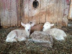 Come visit Ma's lambs at the Bedlam Farm Open House