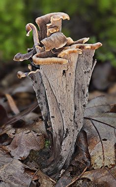 Ht 70mm Chestnut Trail, Smoky Mountains TN Edible Black Trumpet Fungi...one of the best tasting of all the 'safe' edibles!