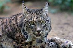 Lince Iberico, considerado como la especie de felinos más amenazados del mundo, es uno de los mamíferos más raros y bellos que pueblan nuestro planeta actualmente.