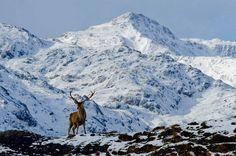 Red stag in Lochaber , Scotland Pic from Visit Scotland website. Edinburgh, Beautiful World, Beautiful Places, England Ireland, Scottish Highlands, Highlands Scotland, Scotland Travel, Galapagos Islands, Places Around The World