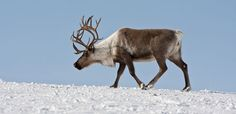 Learn about Santa's favourite animal—the reindeer. #WildlifeWednesday, alive.com