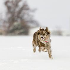 Pictures of Australian Shepherd Dog Breed