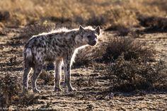 Etosha Park Namibia Wild Dogs, Goats, Africa, Park, Animals, Adventure Trips, Animales, Animaux, Parks