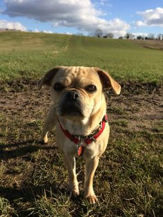 Out at Haxey enjoying the winter sunshine,  dolly the pug X Jack russel