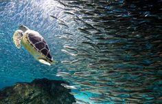 Θαλάσσια χελώνα και σαρδέλες κολυμπούν μαζί..