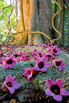 Fallen flowers on the rainforest floor.  Bunya Mountains, Australia.
