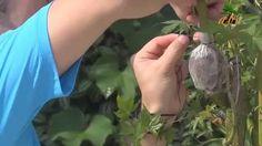 Como Fazer Alporquia Simples para Bonsai - Acer Palmatun - 20
