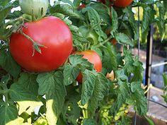 Bigger Tomatoes