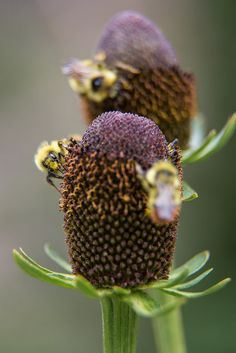 Western coneflower, Yellowstone National Park, Wyoming (pinned by haw-creek.com)