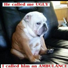 The major breeds of bulldogs are English bulldog, American bulldog, and French bulldog. The bulldog has a broad shoulder which matches with the head. Funny Animal Memes, Cute Funny Animals, Cute Baby Animals, Funny Dogs, Bulldog Pics, English Bulldog Puppies, Bulldog Quotes, English Bulldog Pictures, English Bulldog Funny