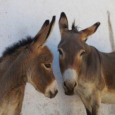 donkeys in Martina Franca, Donkey Donkey, Baby Donkey, Mini Donkey, Baby Cows, Farm Animals, Animals And Pets, Cute Animals, Cowboy Photography, Animal Photography