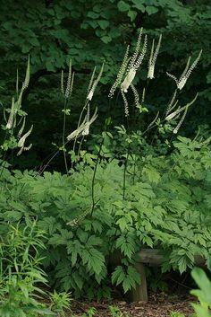 Cimicifuga racemosa var cordifolia Ķekarainā sudrabsvece  Augstums: 150-180/60 cm Lapojums: zaļš Ziedi: krēmbalti, vārpās, VIII-IX Gaisma: pusēna, ēna Mitrums: vidēji mitrs, mitrs Augsne: vidēji bagāta augsne, bagāta augsne Ziemcietības zona: Z4 ? Ieteicams stādīt kopā ar: Anemone, Astilbe, Athyrium, Dicentra, Eupatorium, Geranium, Heuchera, Hosta, Ligularia, Polemonium, Polygonatum, Polygonum, Tiarella, Waldsteinia