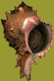 Hexaplex brassica w/p, w/o .jpg (176×262)