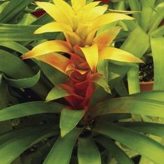 Bromeliad's gray, green or maroon foliage may be striped, spotted or variegated.