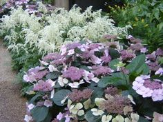 Astilbe and Hydrangea is a winning combination.