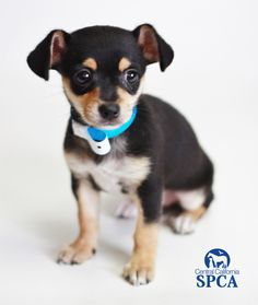 Tastee (ID is a 2 month old, female, black and tan Manchester Terrier/Chihuahua blend Chihuahua Mix Puppies, Chihuahua Terrier Mix, Brown Chihuahua, Boston Terrier, Dogs And Puppies, Manchester Terrier, 2 Month Olds, Puppy Love, Dog Breeds