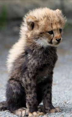 I just love the baby mohawks cheetahs have!