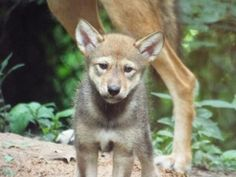 What a cute little rascal! This rare red wolf pup was born in captivity at Land Between the Lakes National Recreation Area in Kentucky. Photo: Land Between the Lakes/Brooke Gille