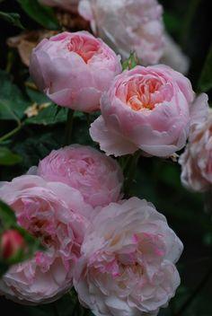 ~Rosa 'Mayor of Casterbridge' (David Austin English Rose) - La Pietra Rossa Garden in Sardinia, Italy