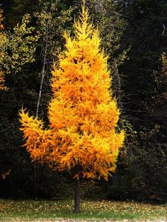 Tamarack - one of the few conifer trees that shange color and drops it's needles in the fall.