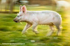 Cuando vemos a Laura corriendo y jugando nuestros corazones se contagian de su inmensa alegría!   Laurita te damos las gracias por tantos momentos hermosos por enseñarnos lo maravillosos que son los cerdos y por motivar a tantas personas a dejar a los animales fuera del menú!    Recuerden que pueden seguir su día a día en Soy Laura no comida :)
