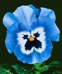 JOKER LIGHT BLUE PANSY