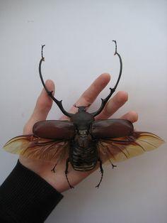 Euchirus longimanus | Flickr - Photo Sharing!