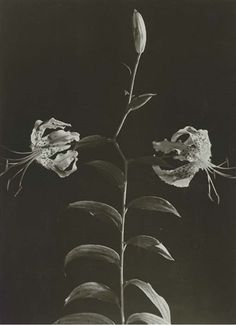 Day lilies, ca. 1932-1935 Dora Maar